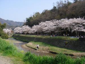 2011sakura003